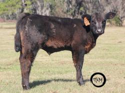 calf 600a