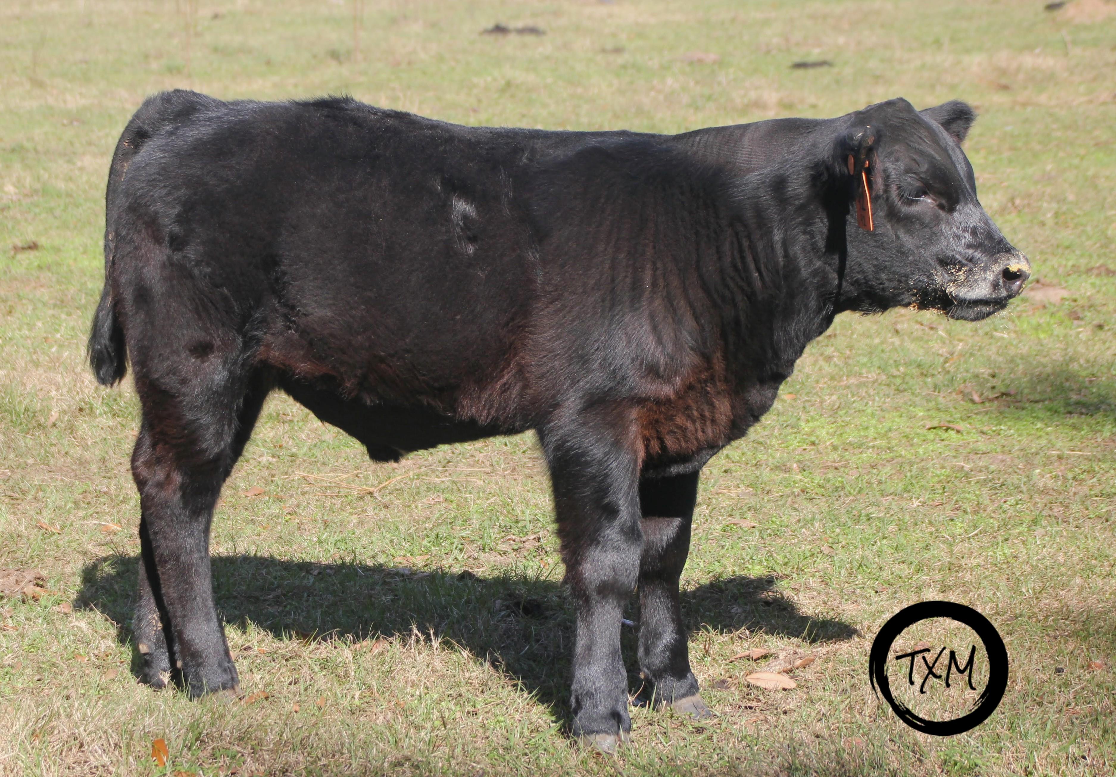 calf 92c