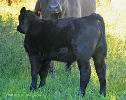 calf 92a