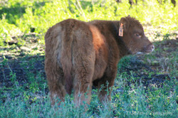 calf 44