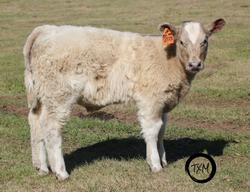 calf 203b