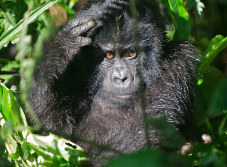 East Africa Journal – Mountain Gorillas!!