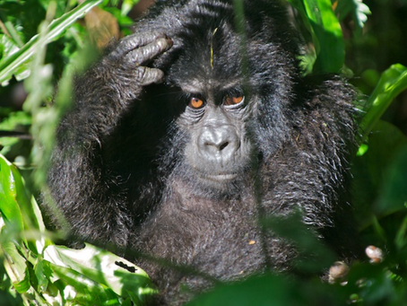 East Africa Journal – Mountain Gorillas!!