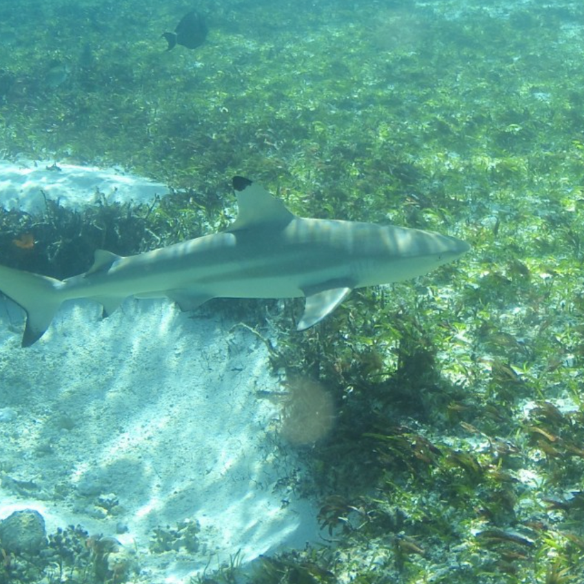 Black tipped reef Shark, Aldabra Lagoon