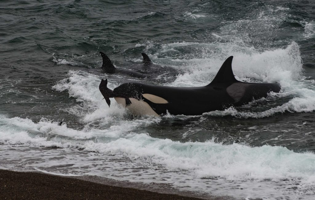 """This was the """"money shot"""" An incredible orca charge by this female in a strong north wind with a significant swell running. The drama of the moment is palpable, I think."""