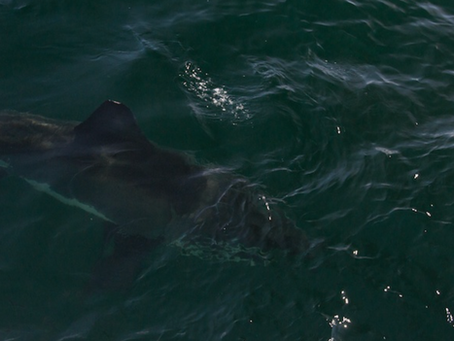 In Search of the White Shark and other Wild Cape Cod adventures...