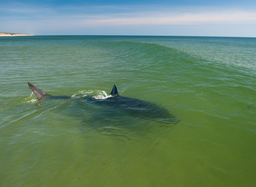 15 foot female great white shark hunting grey seals in the surf. -Coast Guard Beach, Eastham, Cape Cod. (July 2016)