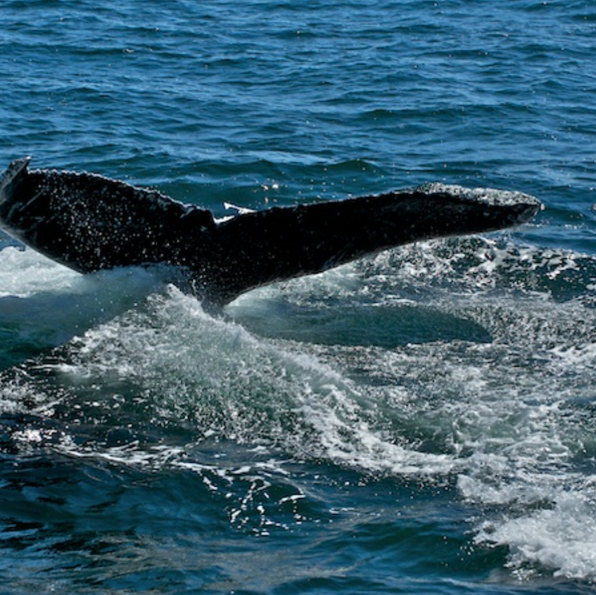 Humpback whale Mira off of Chatham