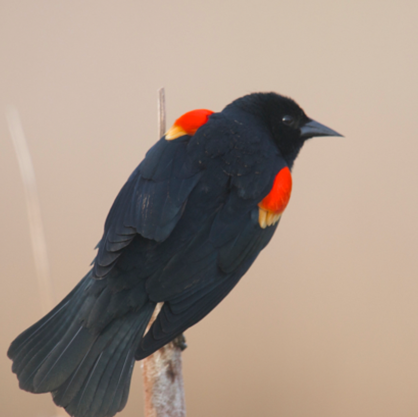 Red winged Blackbird displaying his colors proudly, hoping to attract a mate