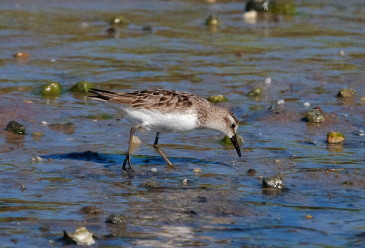 Semipalmated sandpiper _gassing up_ for the journey continuing south