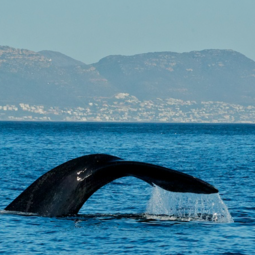 A pair of Southern Right Whales took a break from their feasting on anchovies and approached us!