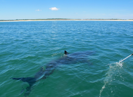 Wild Cape Cod Notebook: White Shark Research