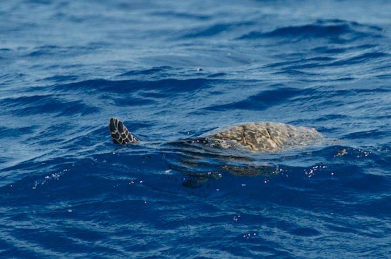 Sea Turtle makes an appearance