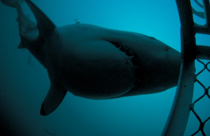 white shark close up