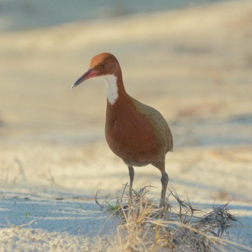Aldabra Rail, A Rare Endemic