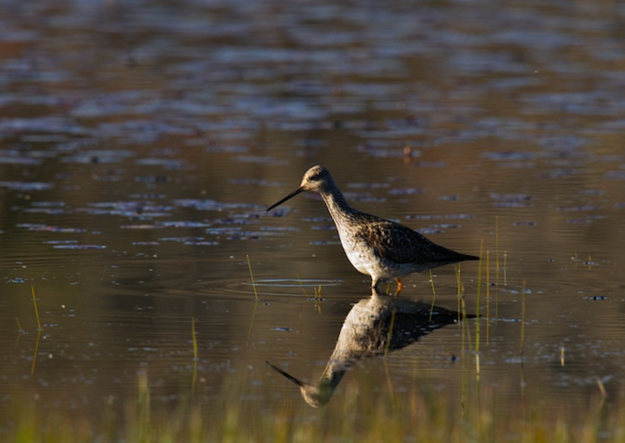 Greater Yellowlegs on the morning hunt
