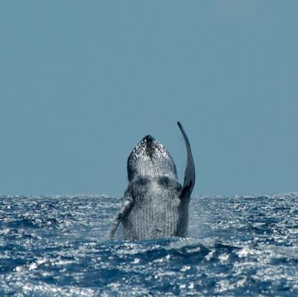 Calf exhibits -Spinning head breach -