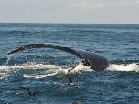 Offshore with the Humpbacks