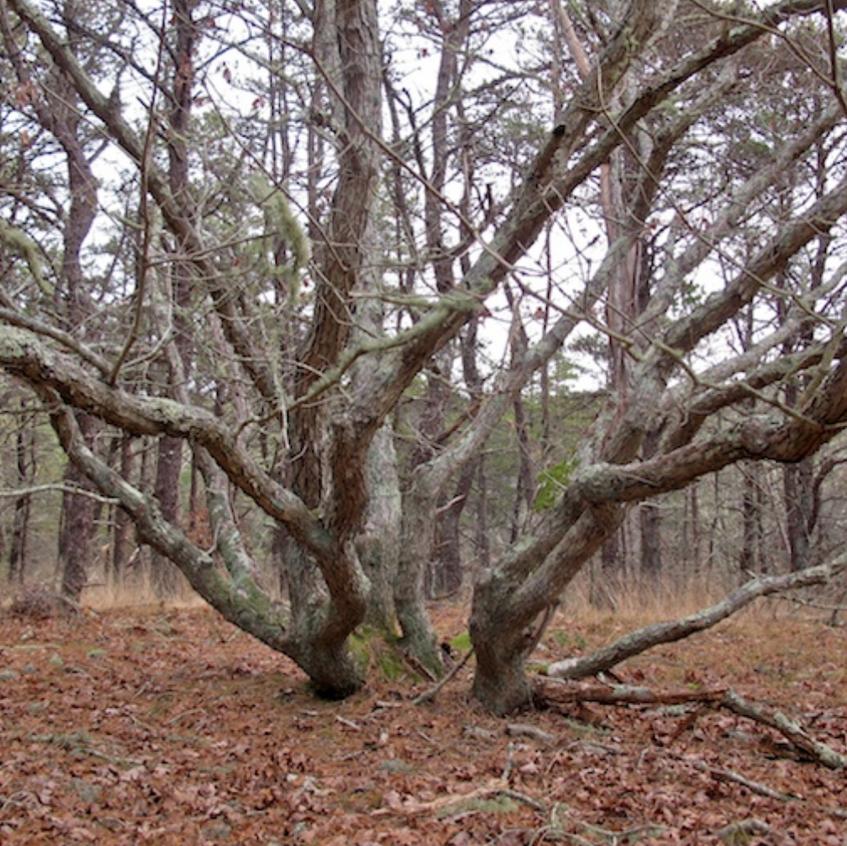 Ancient white oaks cut 150 years ago return