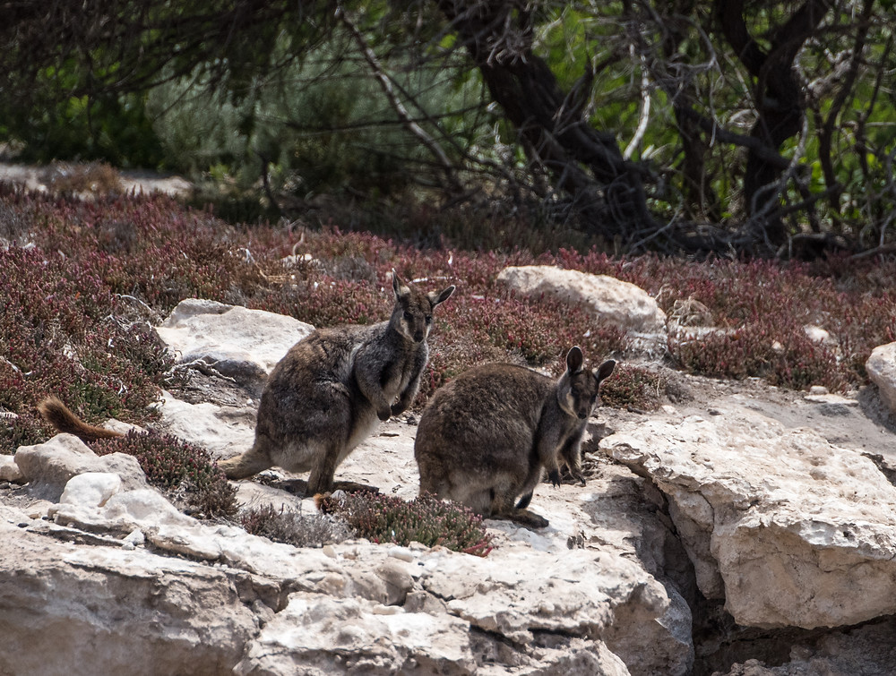 Black footed wallabies