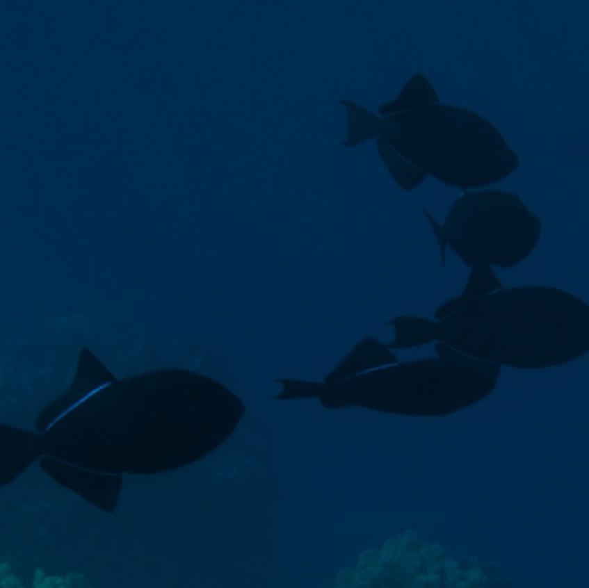 School of Triggerfish off of Puako