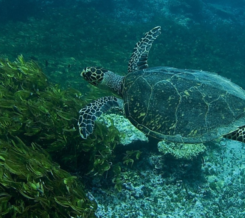 Green Turtle leaving the Lagoon on a falling tide