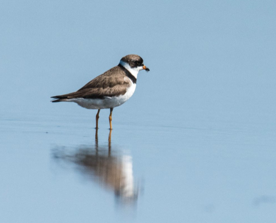 Wilson's plover and reflection.