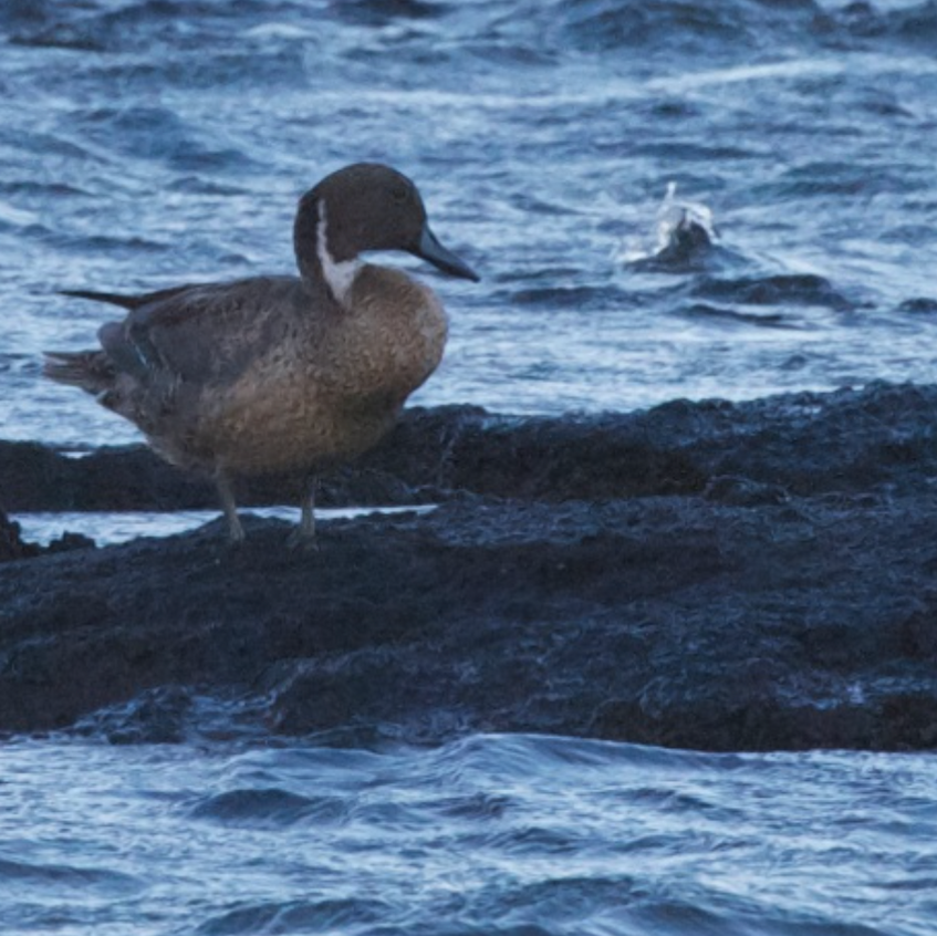 Northern Pintail got blown in overnight