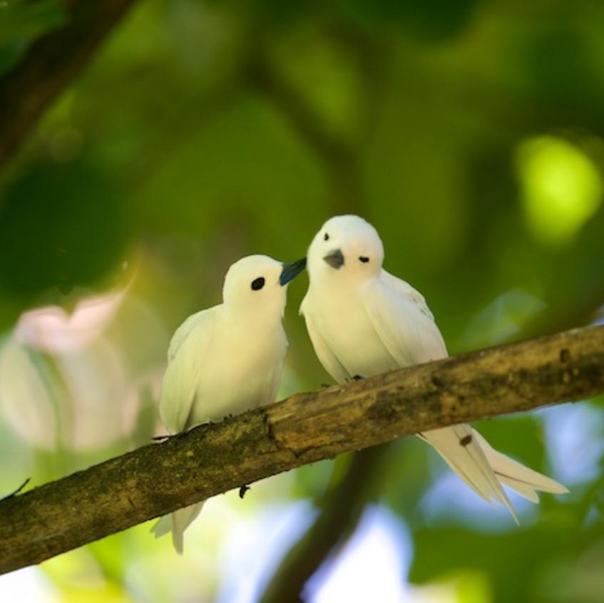 Fairy Terns, Aride Isl.