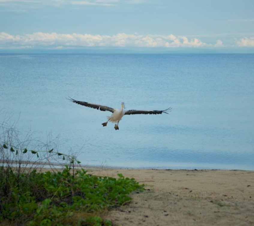 The gregarious white pelican who is known locally as _Big bird_