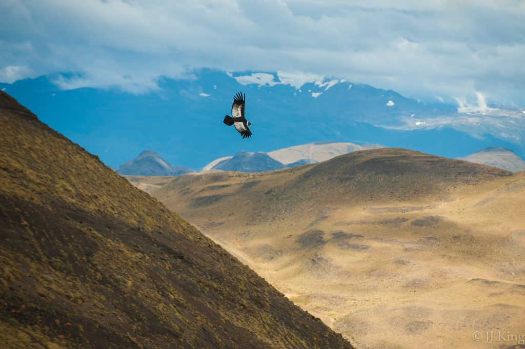 Andean Condor rides a thermal -Torres del Paine, Chile (March 2016)