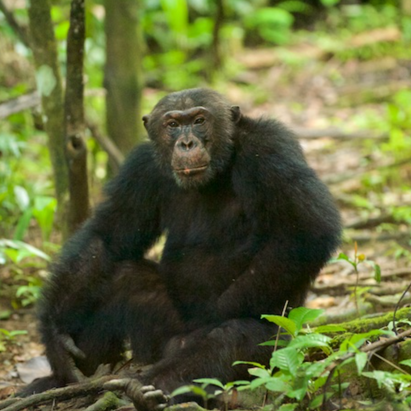 Primus, the alpha male of the Chimpanzee troop at Mahale