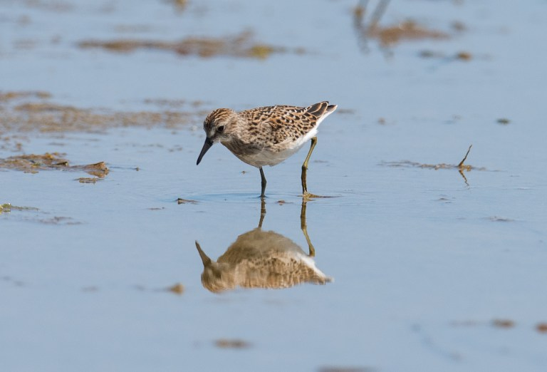 The petite Least sandpiper, note the green legs. This little guy is only 5 inches long and weighs about 1 oz!!