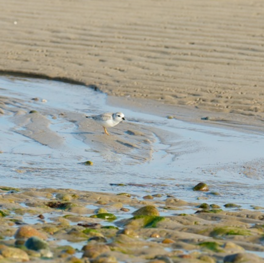 Newly fledged Piping Plover