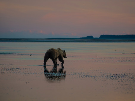 Coastal Brown Bears in the Shadow of Alaskan Volcanos