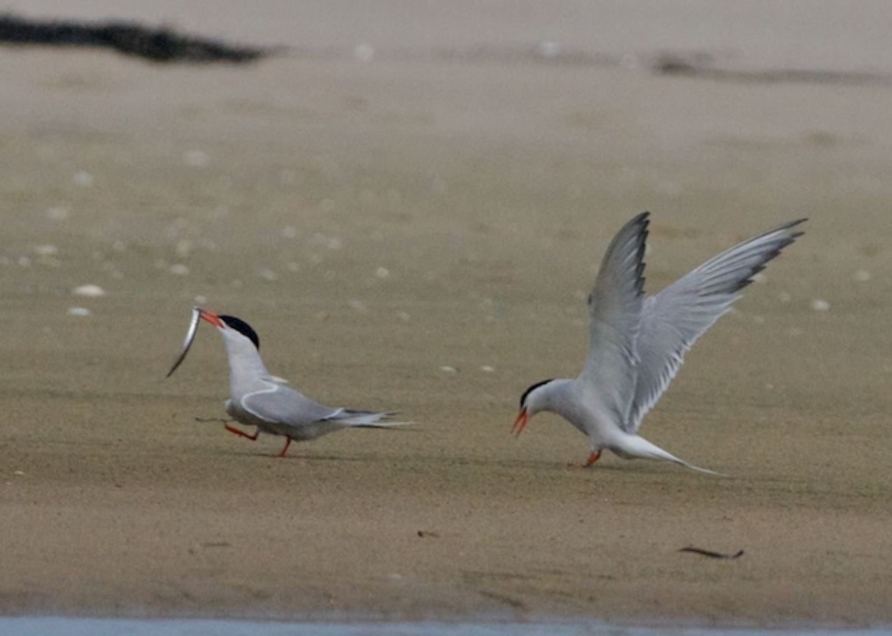 Common terns dance with grace