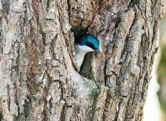 Tree swallow building a nest. Ridgefield National Wildlife Refuge.
