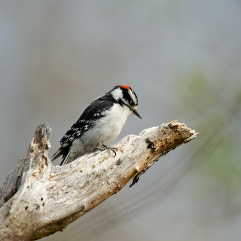 Downy Woodpecker (likely resident) (male)