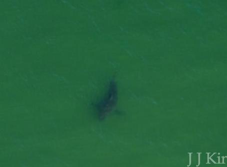 Wild Cape Cod Notebook: Atlantic White Sharks
