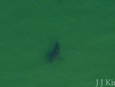 Wild Cape Cod Notebook: Atlantic White Sharks
