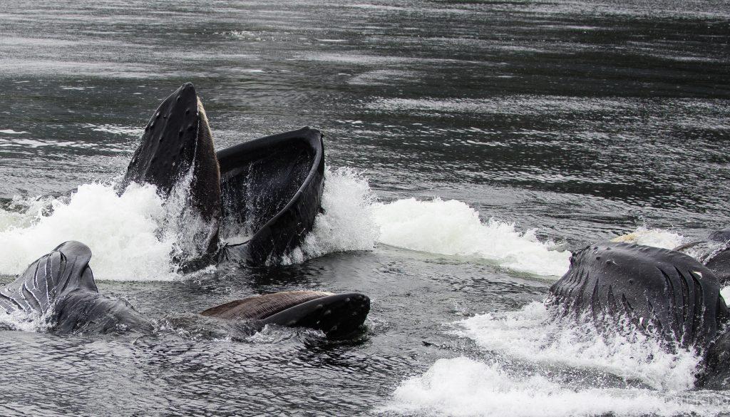 Cooperative bubble netting humpbacks relishing the herring spawn. - Frederick Sound, Southeastern Alaska (April 2016)