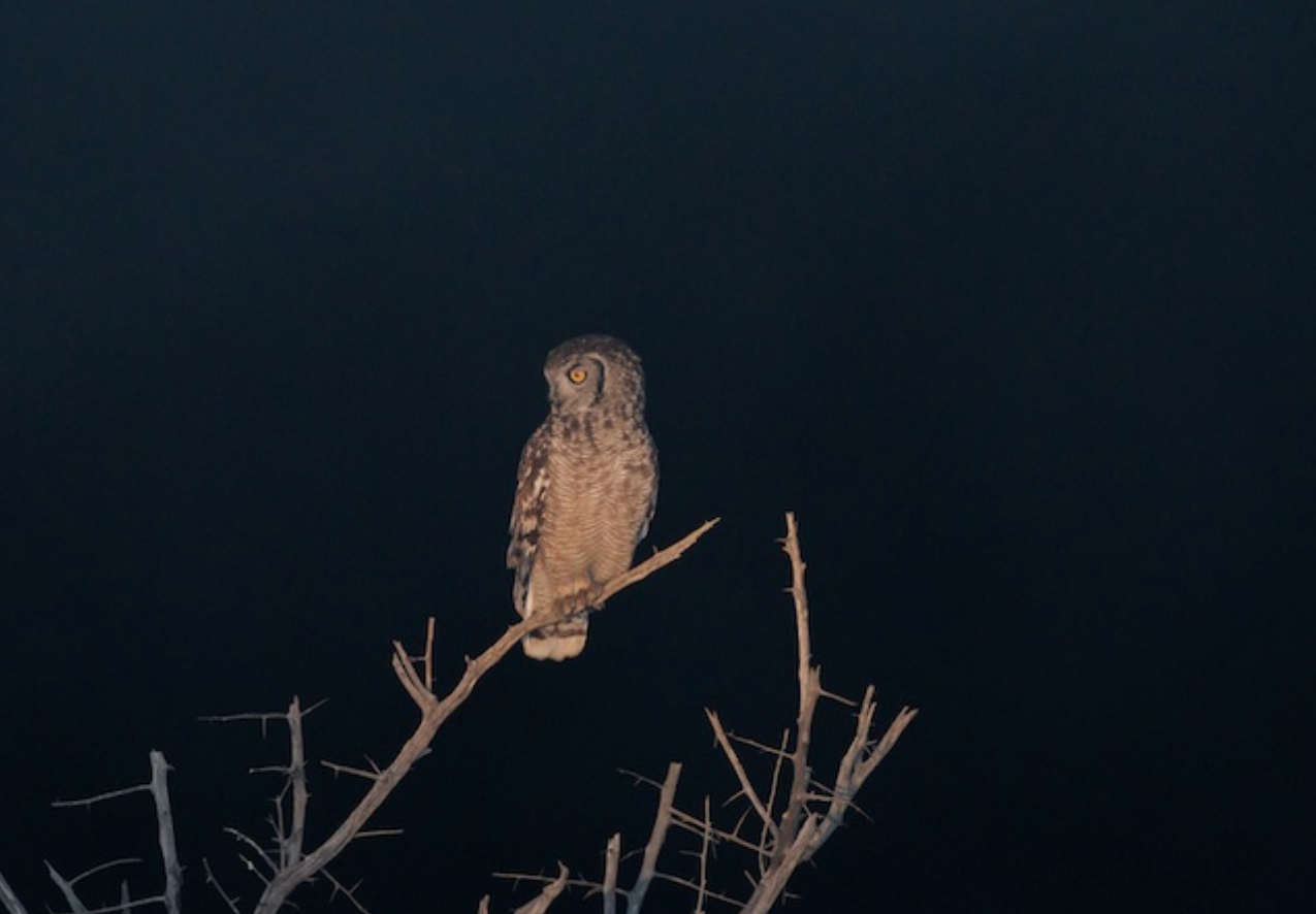 Seconds after this shot this Barn Owl caught a mouse