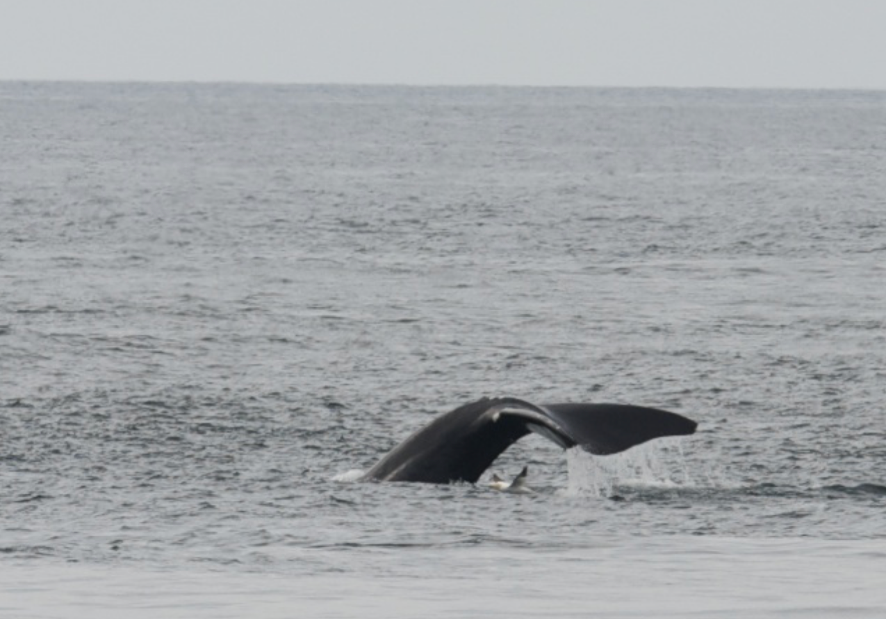Northern Right Whales - Race Point