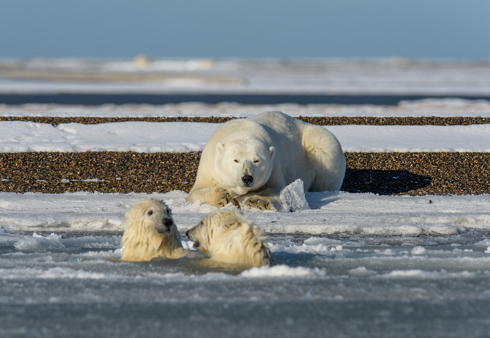 Mother bear watches attentively over her cubs polar swim