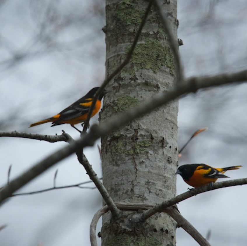 Baltimore Orioles (2 males in a stand off around territory)