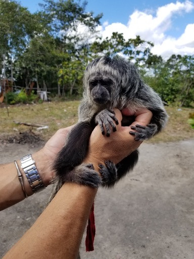 Infant Gray's Bald faced Saki - rescued by a local fisherman