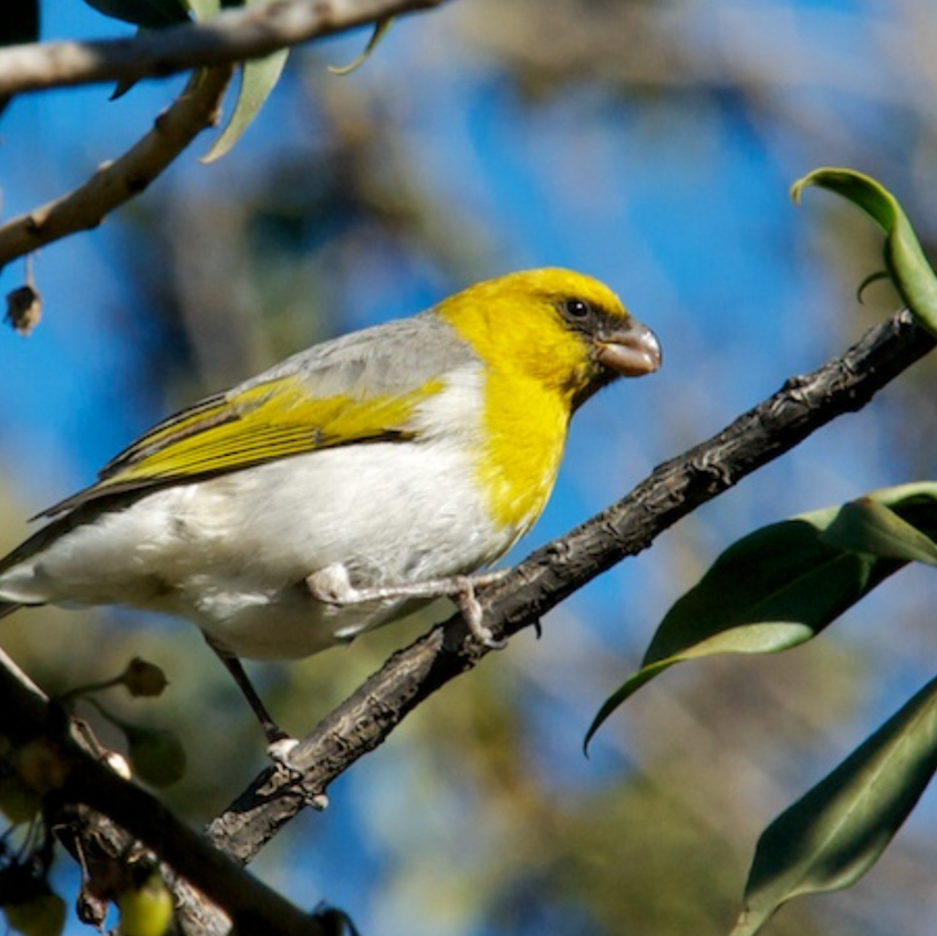 alila - these birds occupy the dry mopane forest