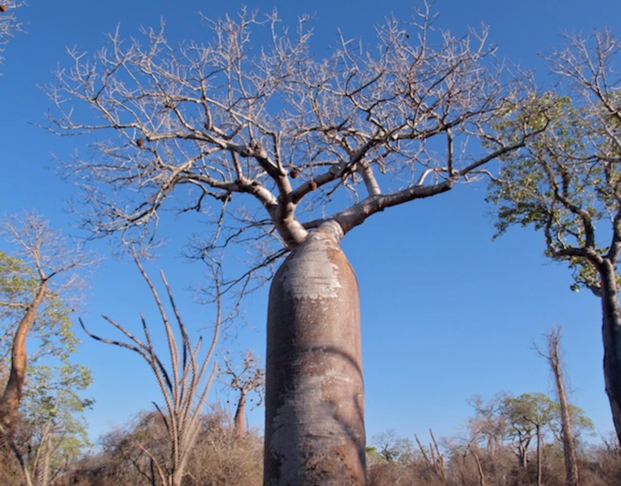 Baobab trees - Spiny Desert Region