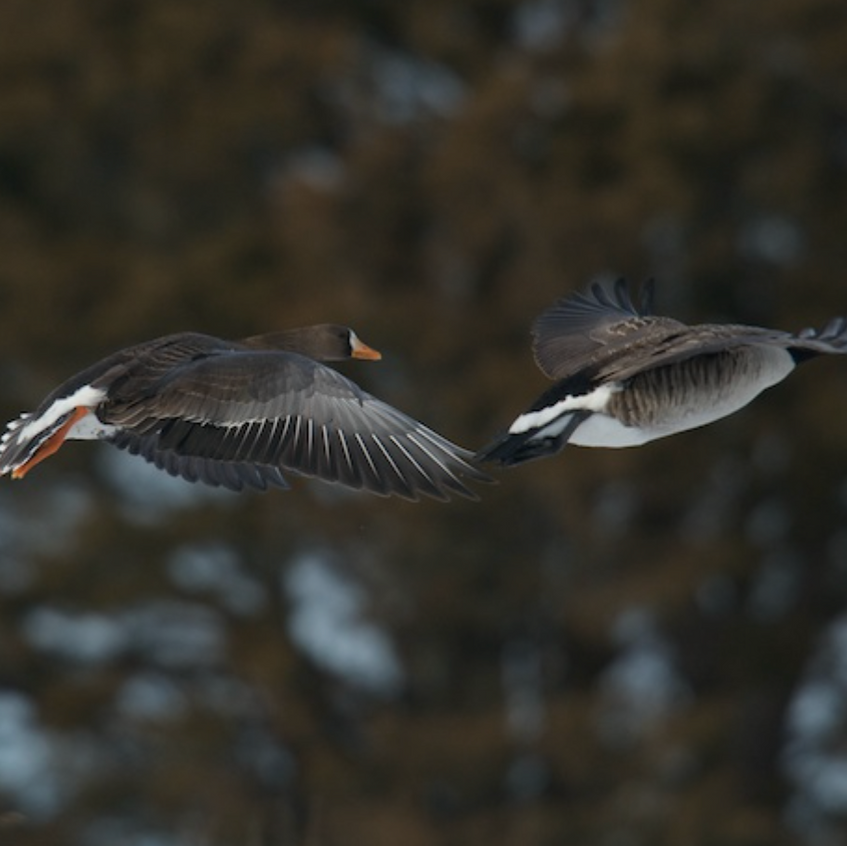 White fronted goose in flight (left)
