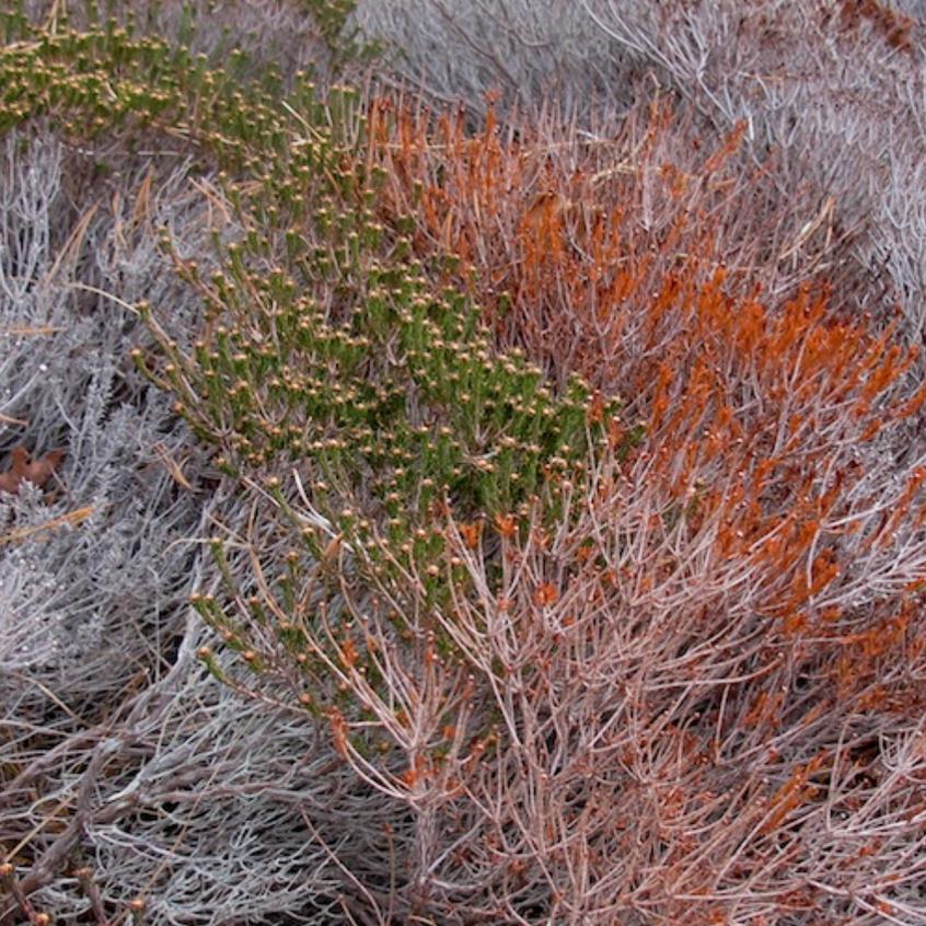 Broom Crowberry - the essence of Coastal Heathland